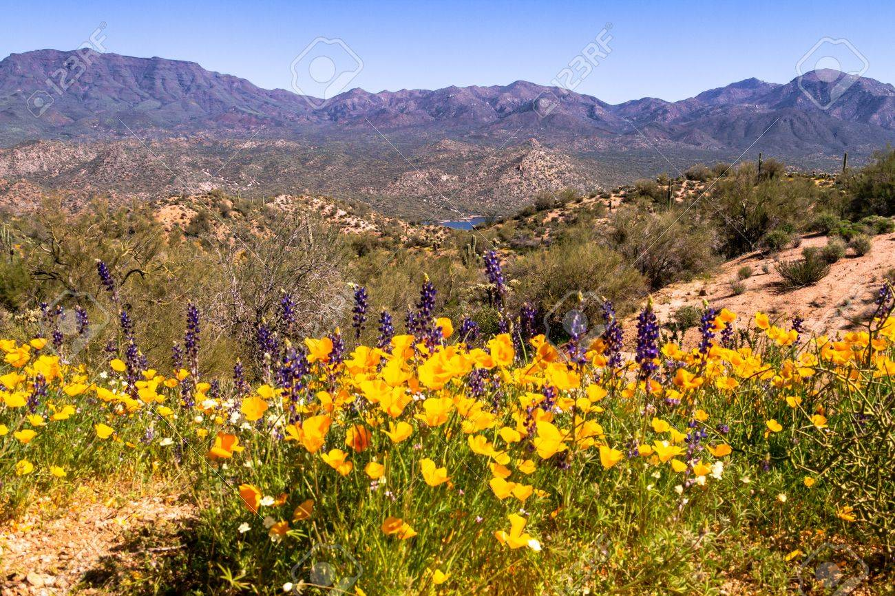 Mexican Yellow Poppies and purple Lupine growing in the desert near Bartlett Lake Arizona with Saguaro cactuses Stock Photo - 18964283