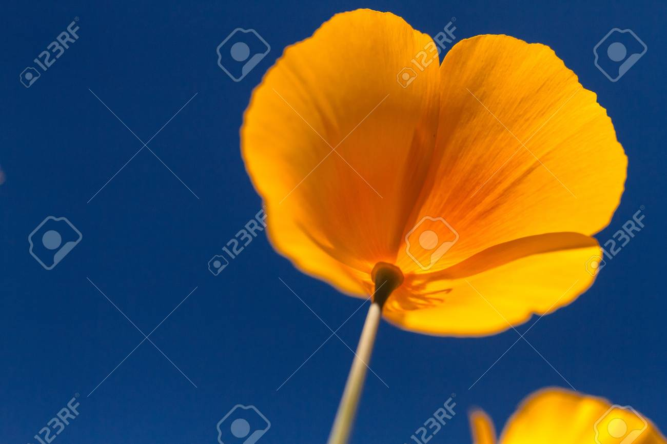 Mexican Yellow poppies bloom from the bottom against a clear blue sky Stock Photo - 18964271
