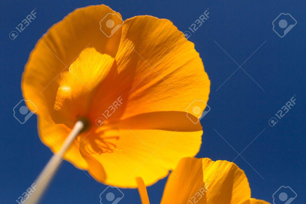 Mexican Yellow poppies blossom from the bottom against a clear blue sky Stock Photo - 18964268