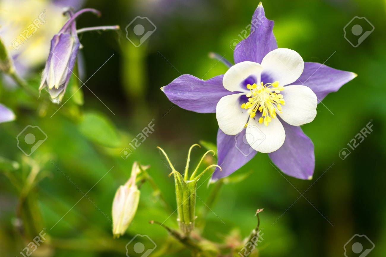 Close up of blue columbine flower bloom and buds stock photo close up of blue columbine flower bloom and buds stock photo 21215517 izmirmasajfo