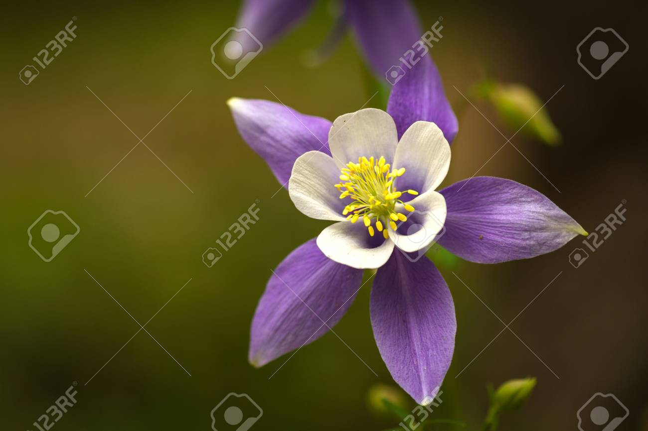 Close up of blue columbine the state flower of colorado stock photo close up of blue columbine the state flower of colorado stock photo 21215534 izmirmasajfo
