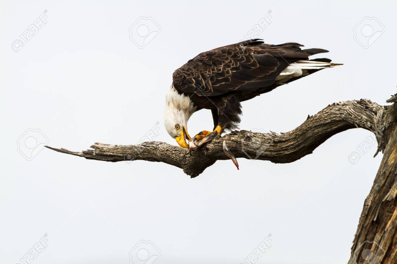 Bald Eagle Eating Fish With Mouth Open Tearing At Fish It Just ...