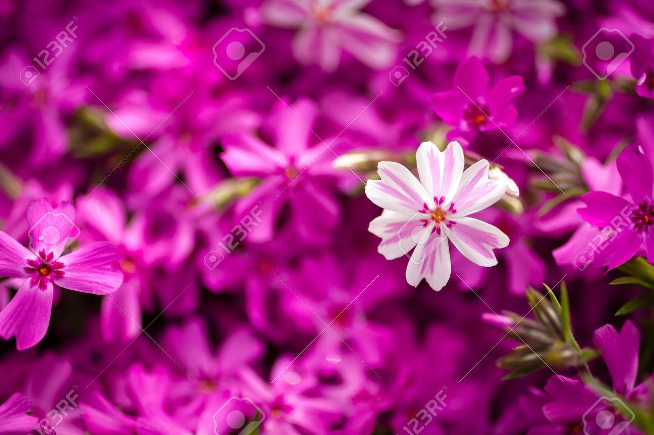Blossom phlox background the small pink and white flowers stock blossom phlox background the small pink and white flowers stock photo 22260228 mightylinksfo