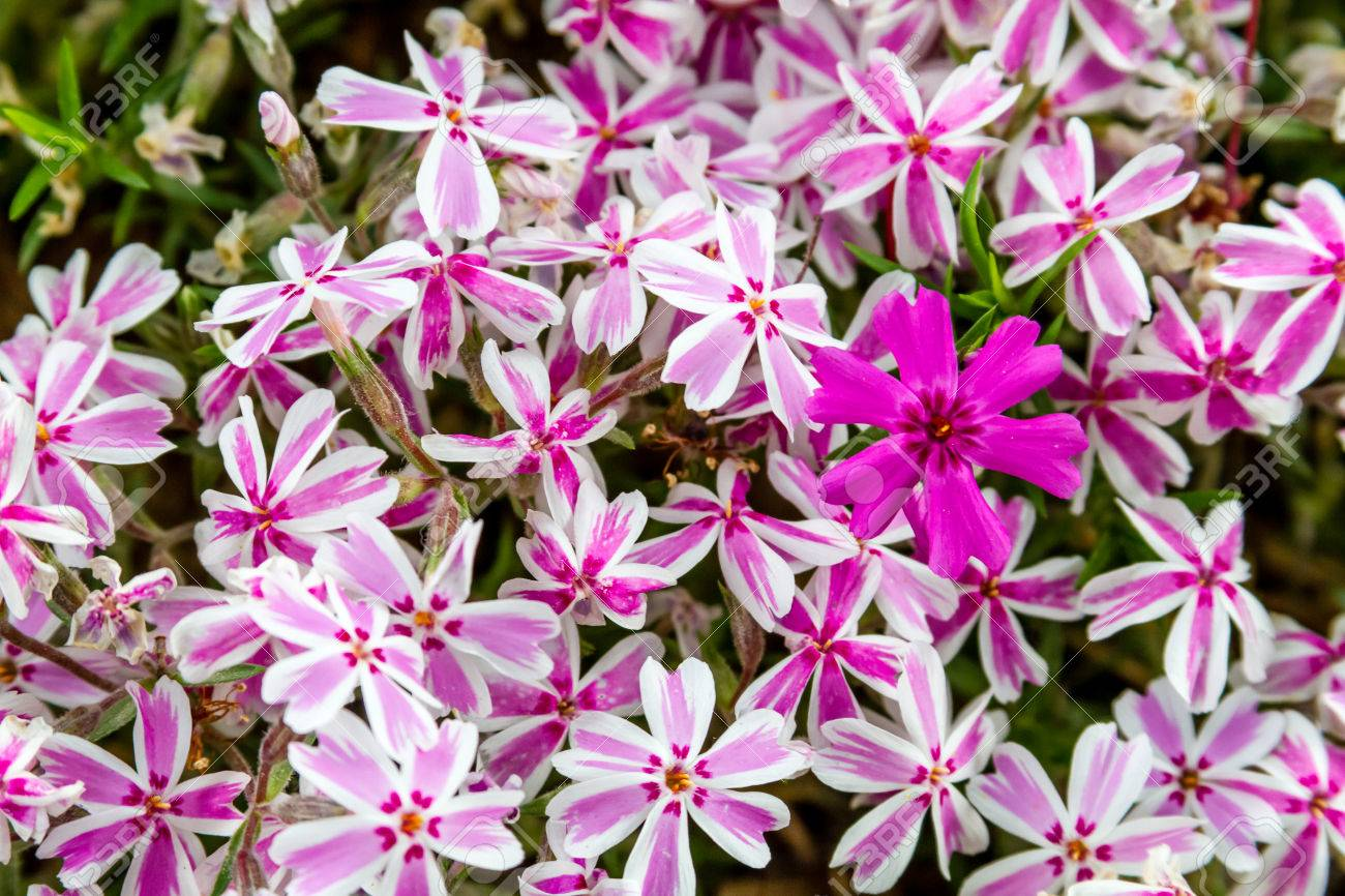 Patch of pink and white striped phlox flowers with one solid stock patch of pink and white striped phlox flowers with one solid pink bloom standing out stock mightylinksfo