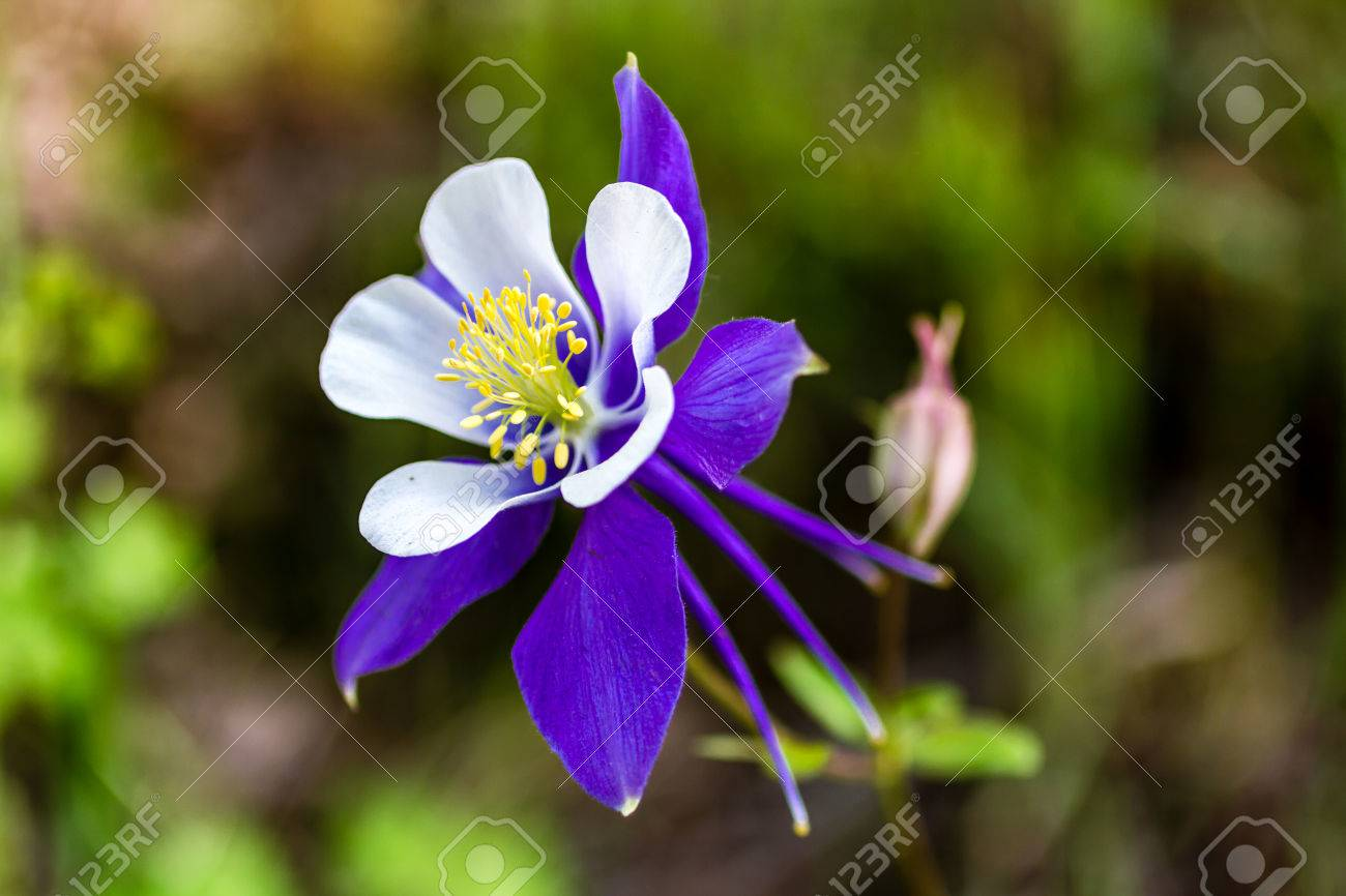 Side view of blue columbine flower bloom and bud on mountain side view of blue columbine flower bloom and bud on mountain forest floor stock photo dhlflorist Gallery