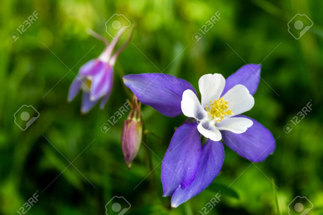 Blue columbine flower bloom and 2 buds on mountain forest floor blue columbine flower bloom and 2 buds on mountain forest floor stock photo 29533212 izmirmasajfo