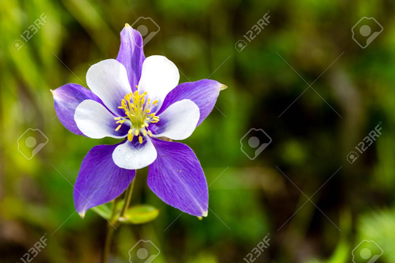 blue columbine flower bloom on mountain forest floor stock photo, Beautiful flower