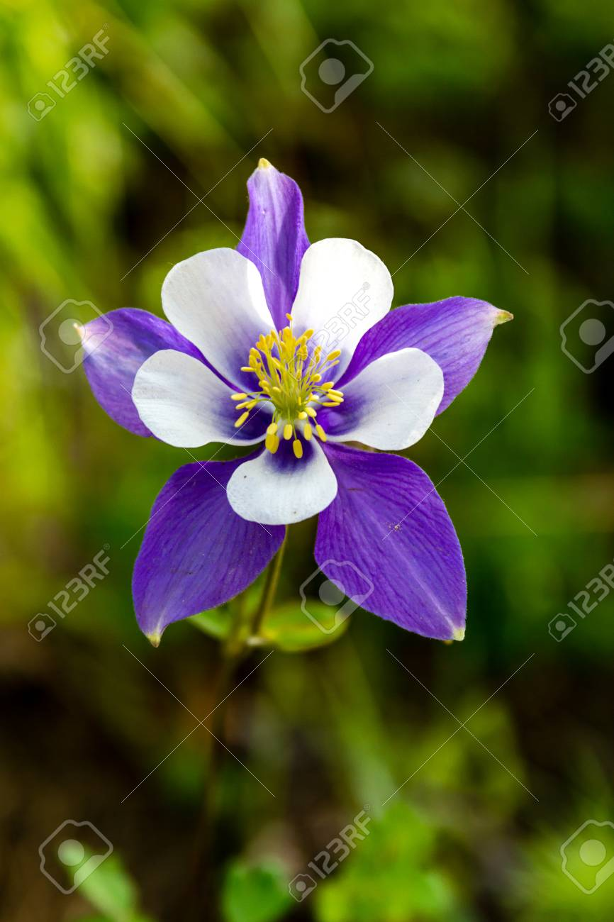 Blue columbine flower bloom on mountain forest floor stock photo blue columbine flower bloom on mountain forest floor stock photo 29533218 izmirmasajfo