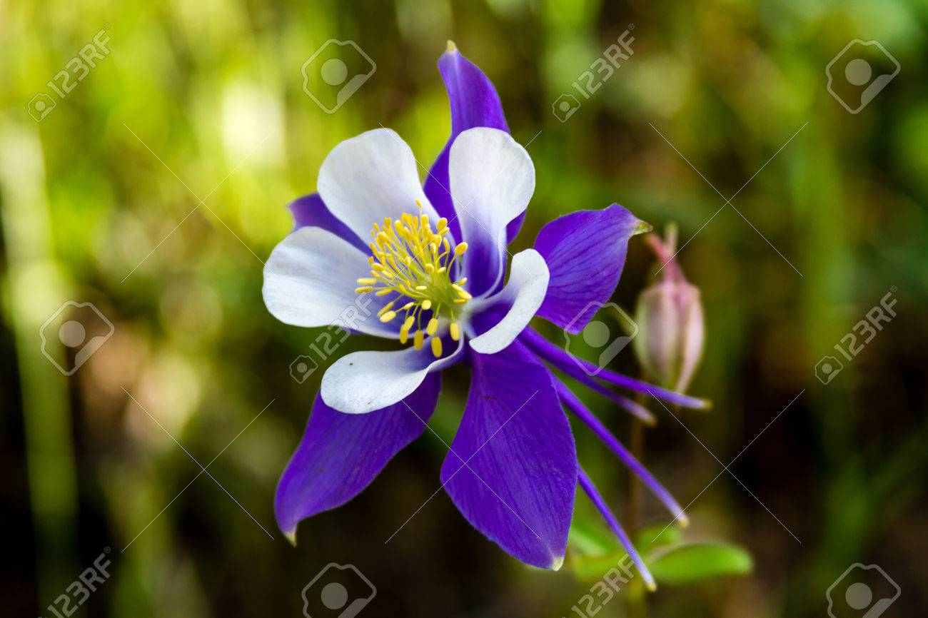 Bouquet Of Blue Columbine Flowers Royalty Free Stock Image - Image ...