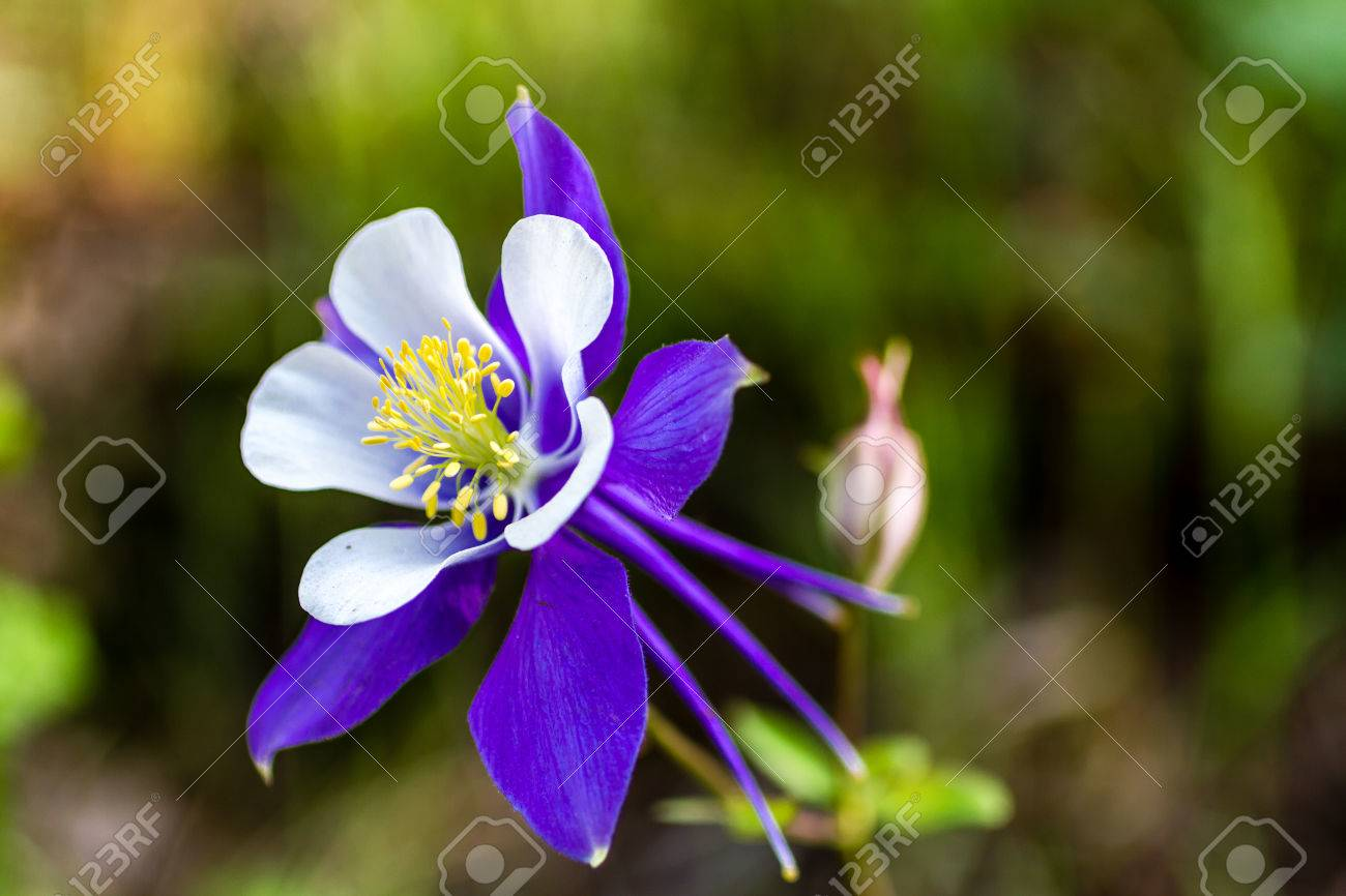 Columbine Seeds for Sale 'Tower Dark Blue Columbine' $1.00/pack