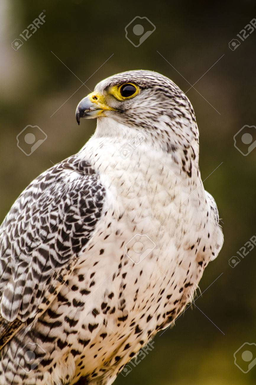 Silver Gerfalcon sitting on large rock on winter morning - 36017903