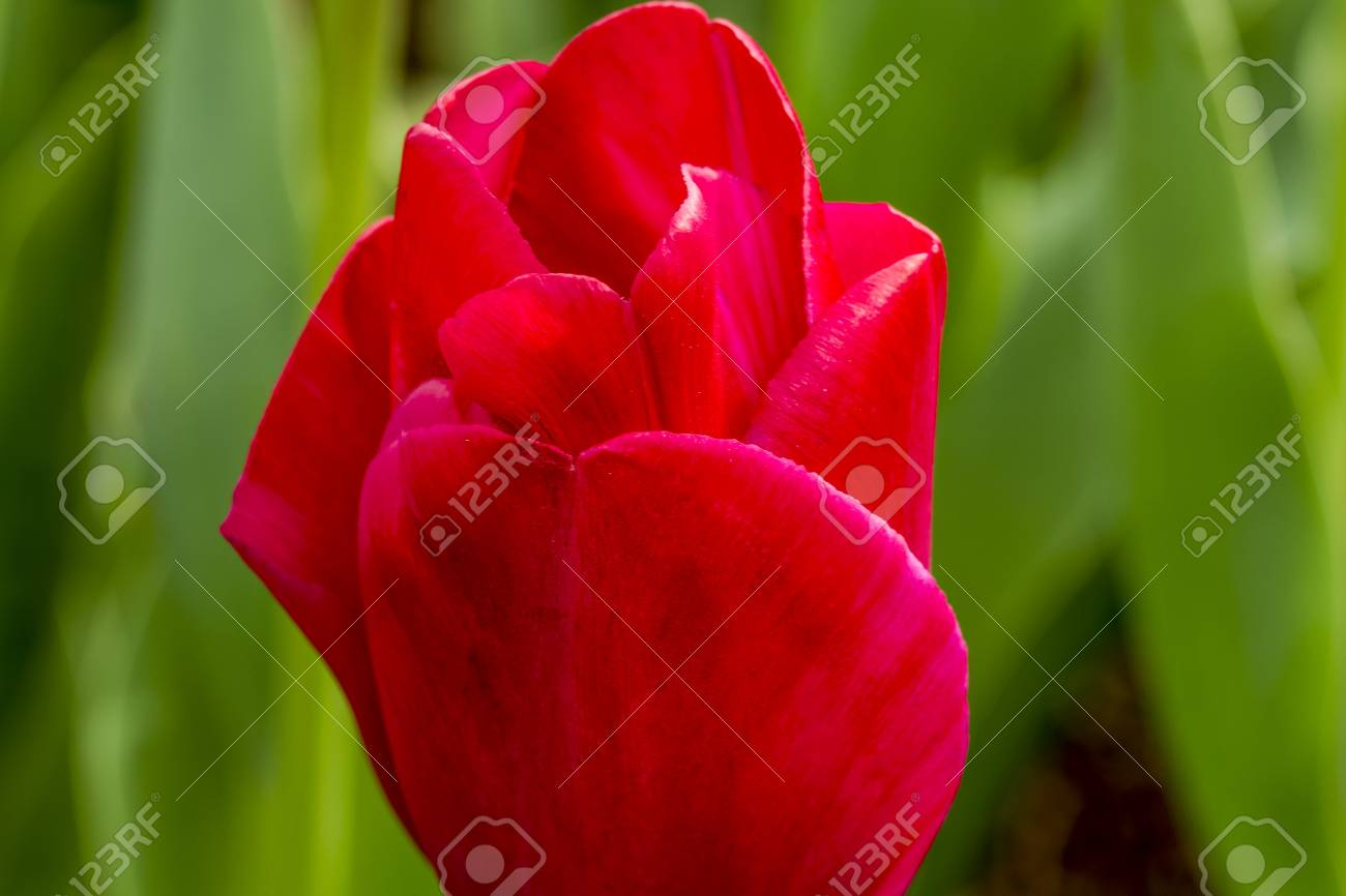 Close Up De Petales De Tulipe Rouge Dans Le Champ De Tulipes Sur Le