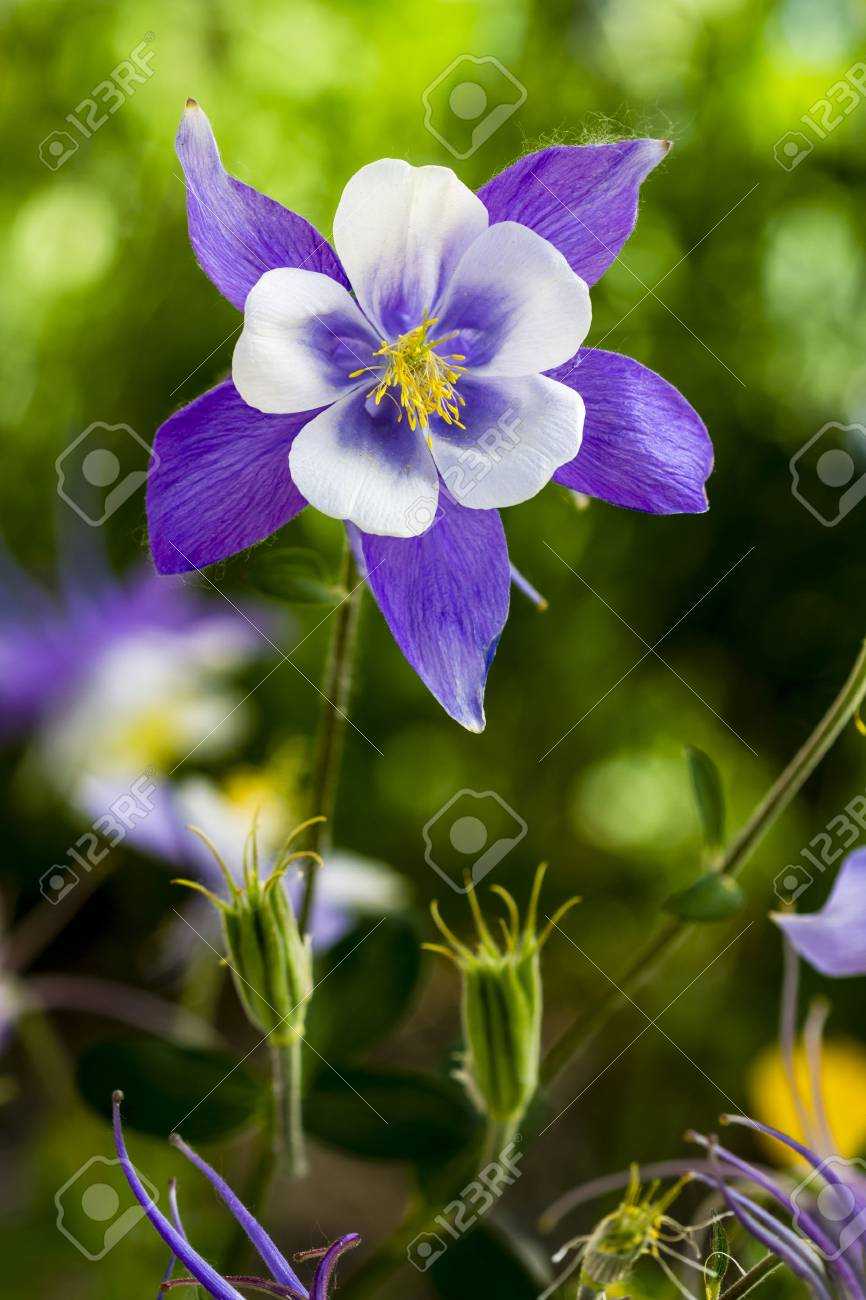 Single Stem Of Blue Columbine Flower Bloom With Two Unopened Stock