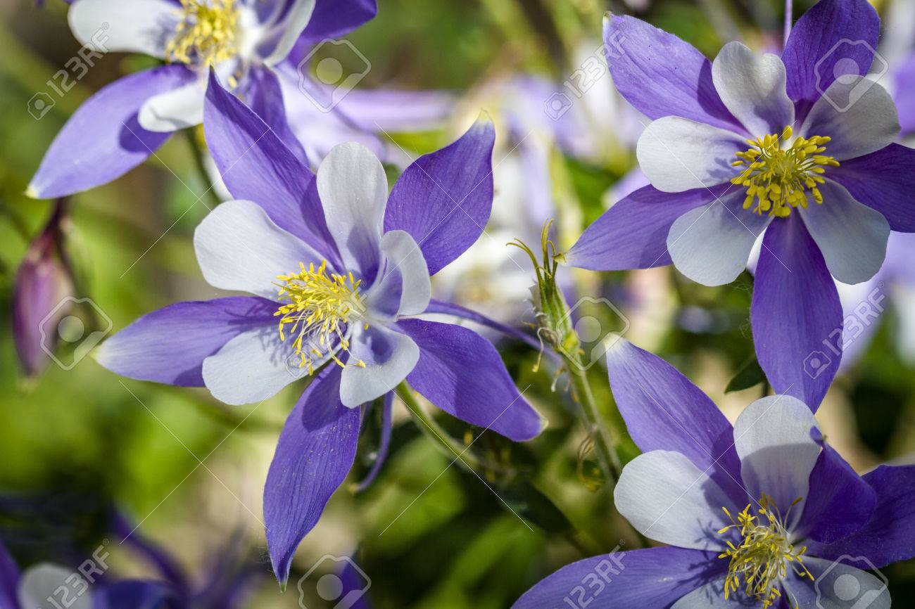 Blue columbine flowers and buds in afternoon sunlight stock photo blue columbine flowers and buds in afternoon sunlight stock photo 60801598 izmirmasajfo