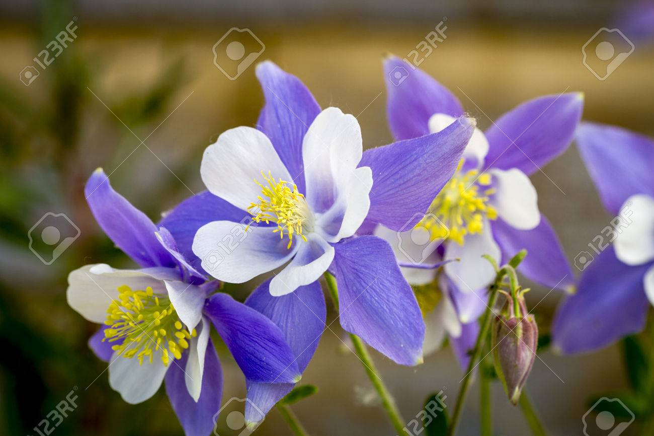 Blue Columbine Flower Blossoms And Buds With Wooden Log Behind