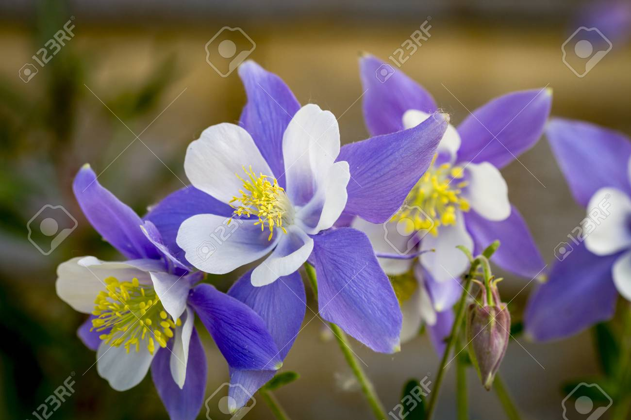Close up of blue columbine flower blossoms and buds with wooden close up of blue columbine flower blossoms and buds with wooden log behind flowers stock photo izmirmasajfo