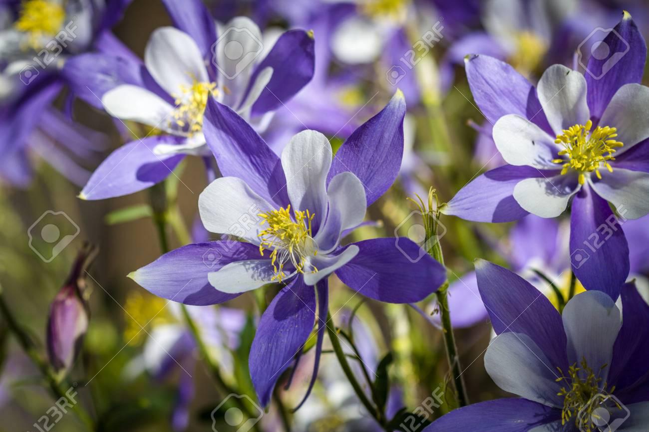 Macro shot of blue columbine flower blooms and buds in afternoon macro shot of blue columbine flower blooms and buds in afternoon sunlight stock photo 60801606 izmirmasajfo Images