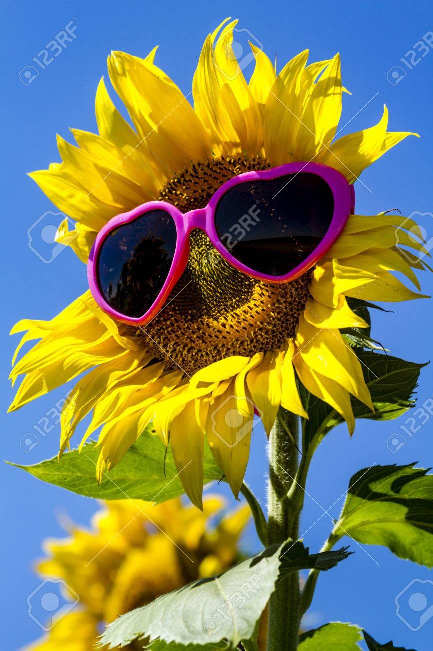 une plante Martin 1er avril trouvée par Jov' 62346736-g%C3%A9ant-ouvert-tournesol-fleur-jaune-dans-un-champ-de-tournesols-avec-des-lunettes-de-soleil-de-coeur-ro
