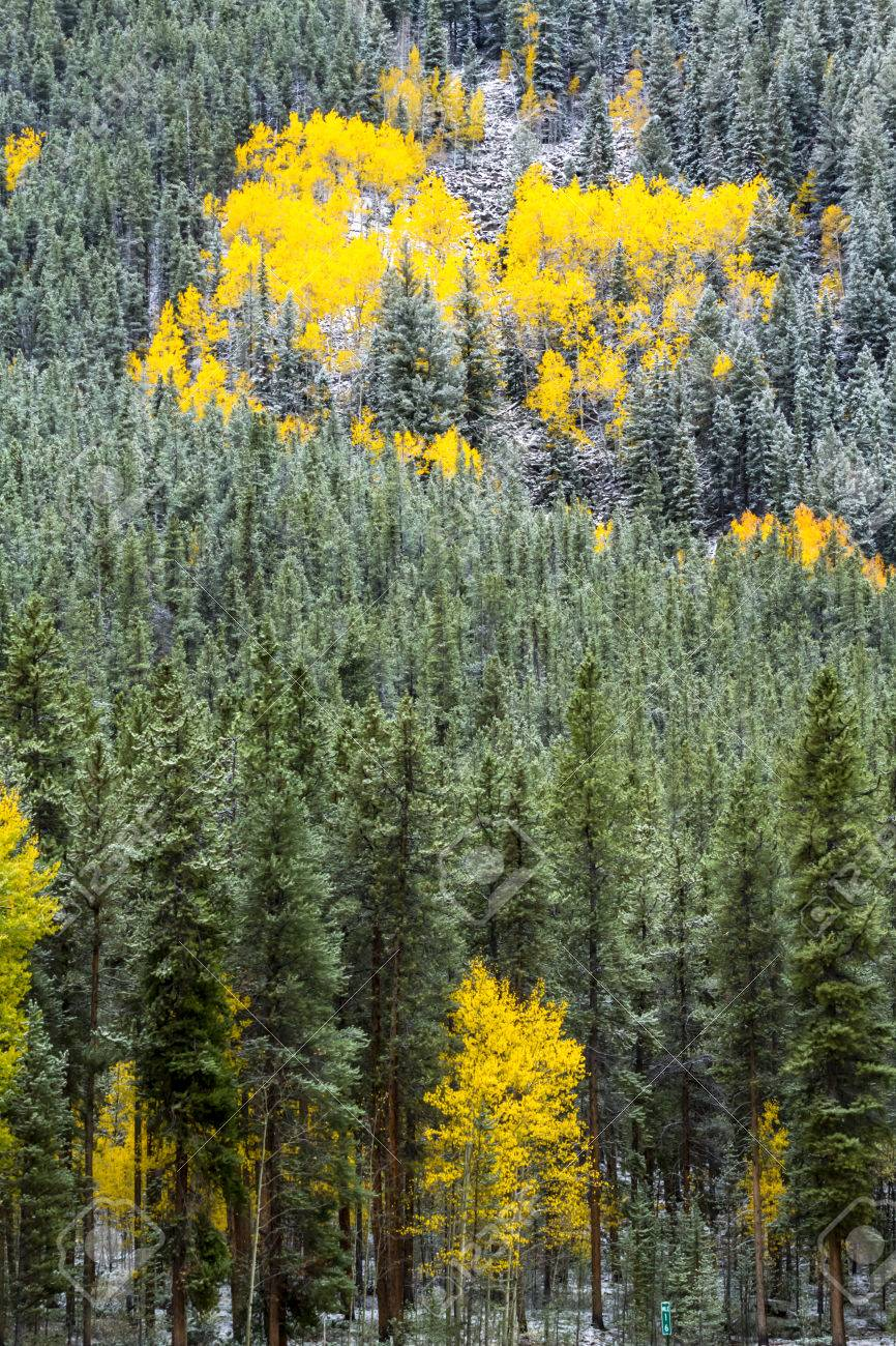 Grove Of Yellow Aspen Trees In Full Fall Color After Early Autumn ...