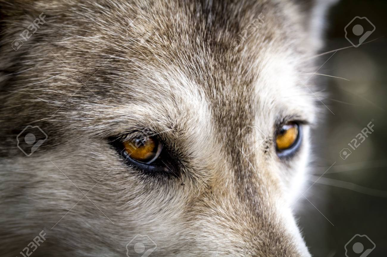 Yellow Eyes Of Timber Wolf Close Up Stock Photo Picture And Royalty Free Image Image 74631586