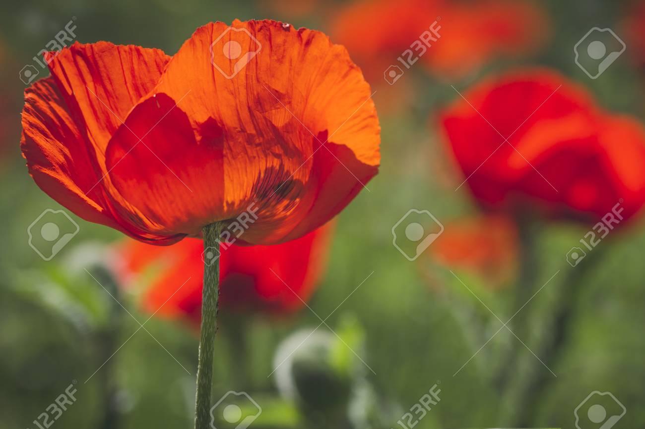 オレンジ色のポピーの花の芸術の背景にケシ畑の幹し