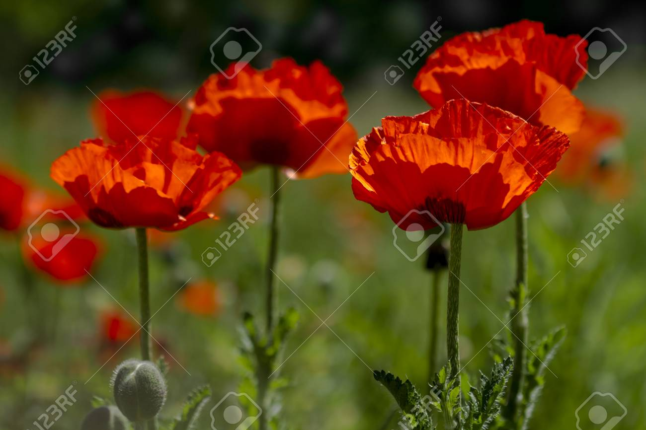 Orange Poppy Flowers In Poppy Field Backlit By Morning Sun Stock
