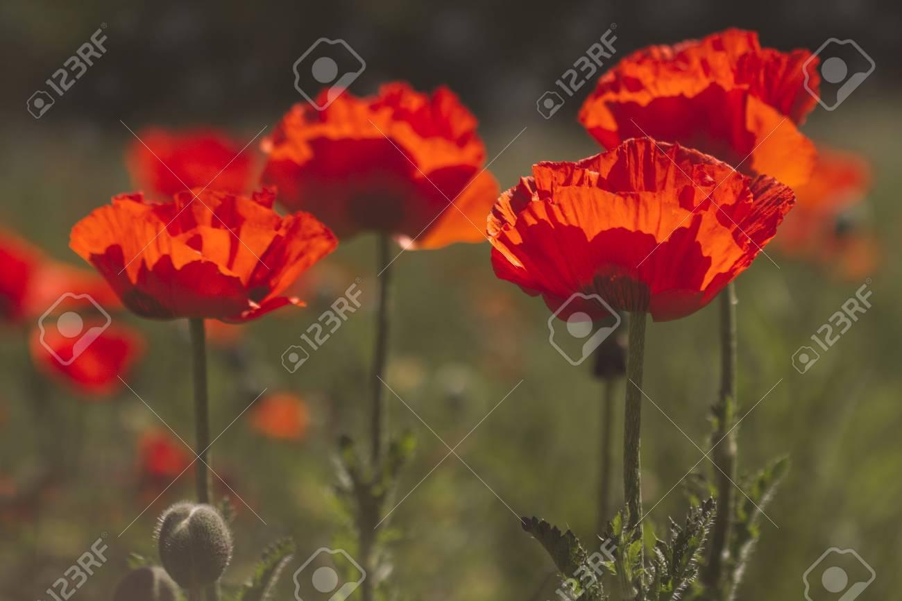 Orange Poppy Flowers In Poppy Field Backlit By Morning Sun With