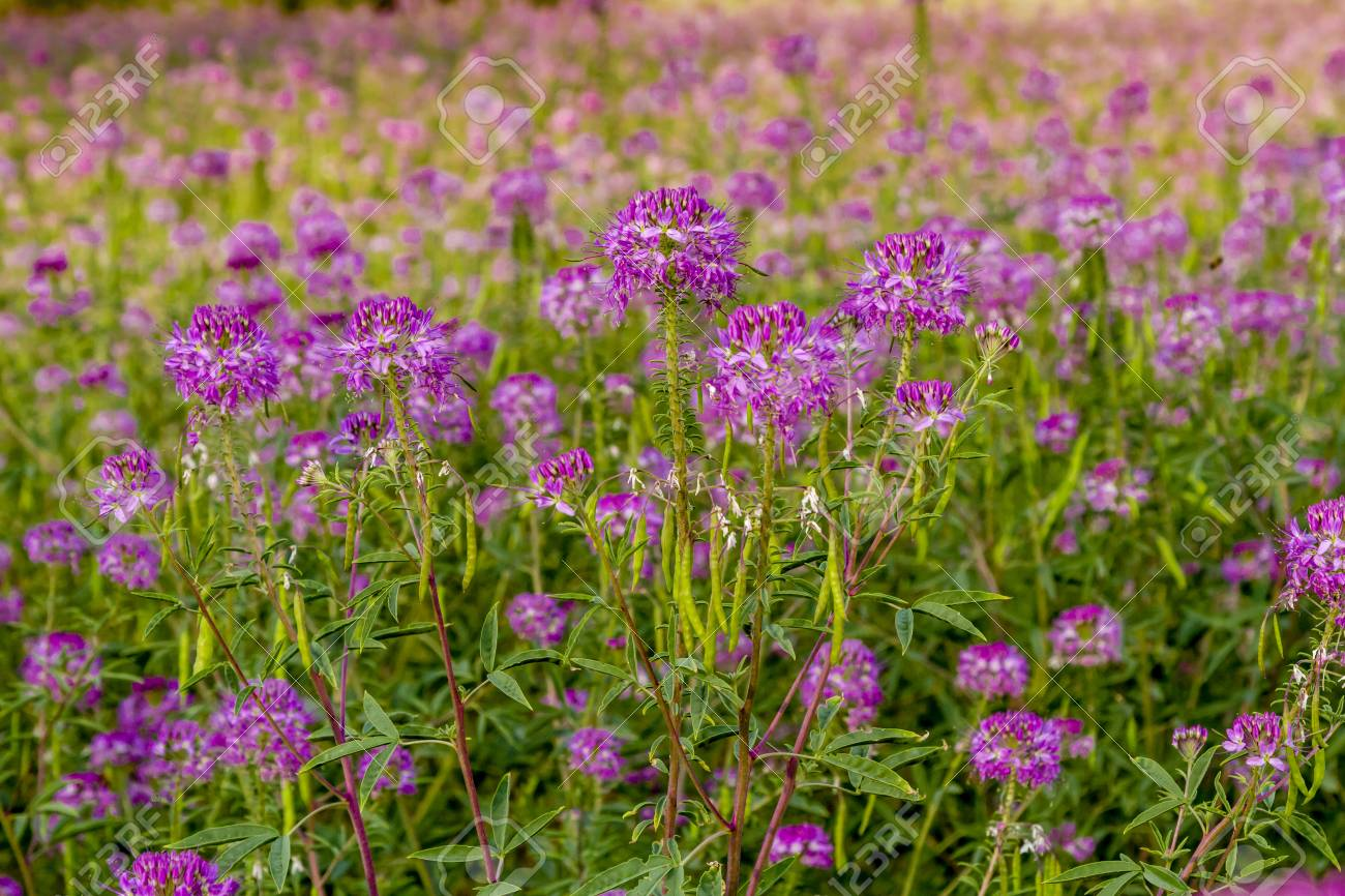 Large Meadow Of Purple Rocky Mountain Bee Plant Wildflowers In Stock Photo Picture And Royalty Free Image Image 83595142