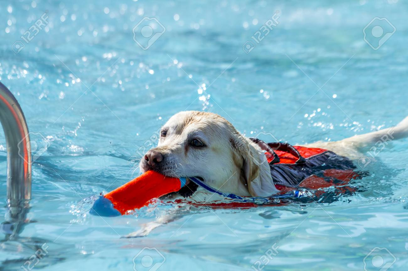 pool water with float. Stock Photo - Yellow Labrador Retriever Dog Playing Fetch In Swimming Pool Water With Toy Mouth And Float Device On Back G