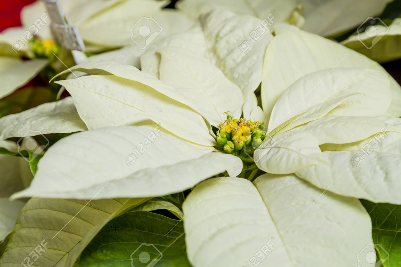 Close Up Of White Poinsettia Plant Bloom Stock Photo Picture And