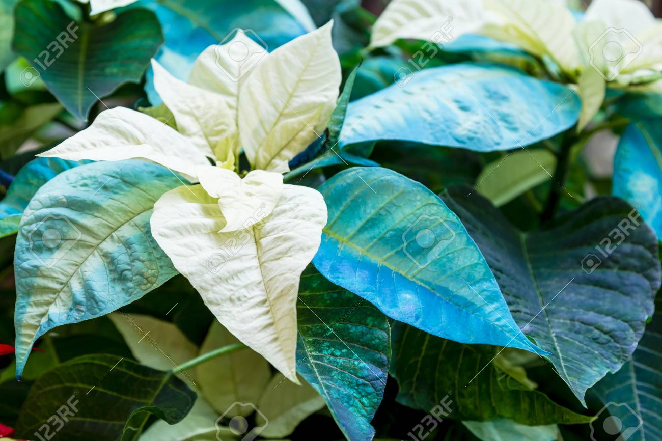 Display Of Blue And White Christmas Poinsettia Plants In Natural