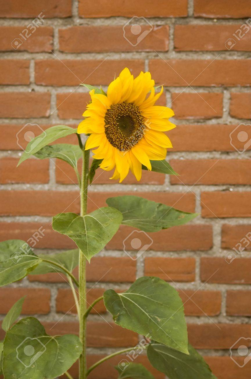 single sunflower with red brick wall background stock photo, Beautiful flower