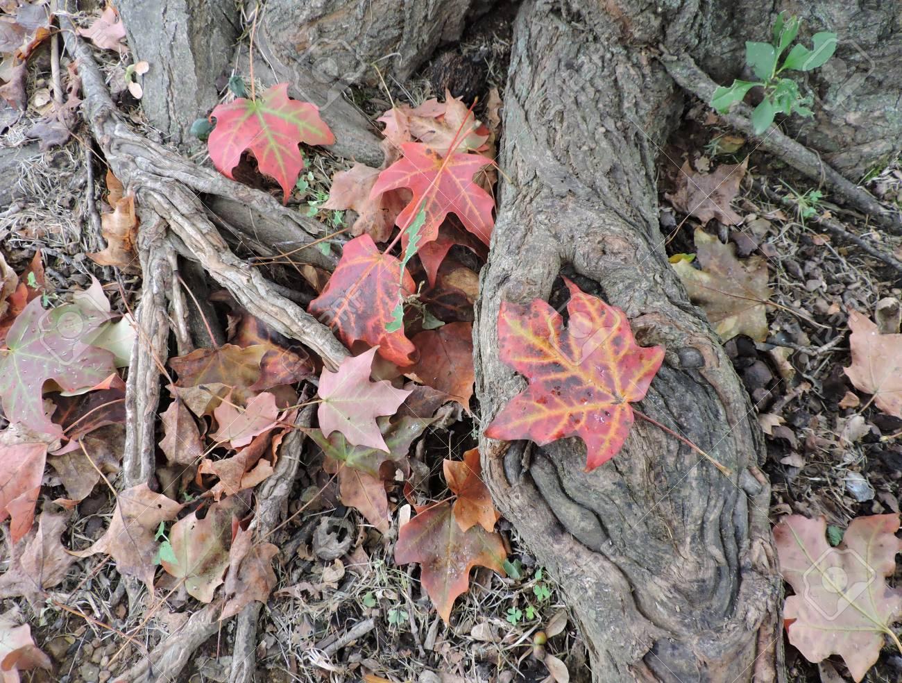 Fallen Maple Leaves Autumn Seasonal Stock Photo - 46781193