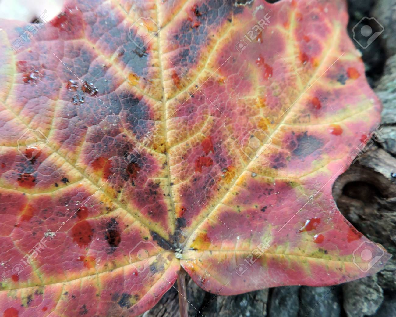 Autumn Maple Leaf Veins Close-up Detail Stock Photo - 46781225