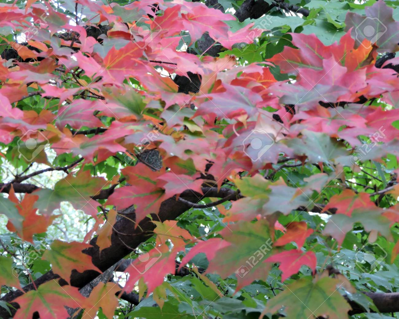 Autumn Maple Leaves Changing Color on Tree Stock Photo - 46781234