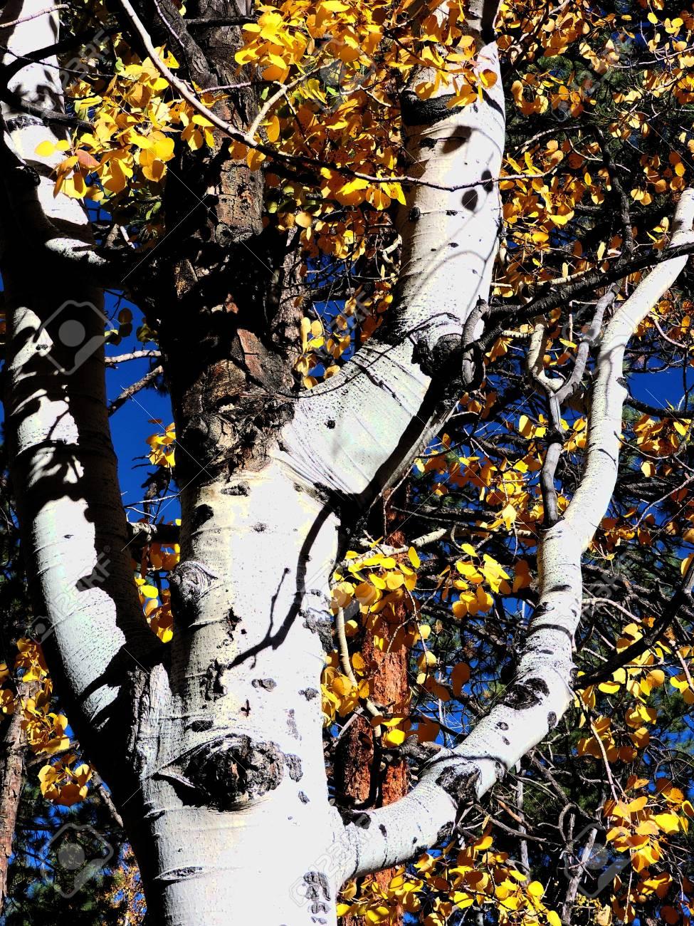 Aspen Autumn Leaves Stock Photo - 56978279