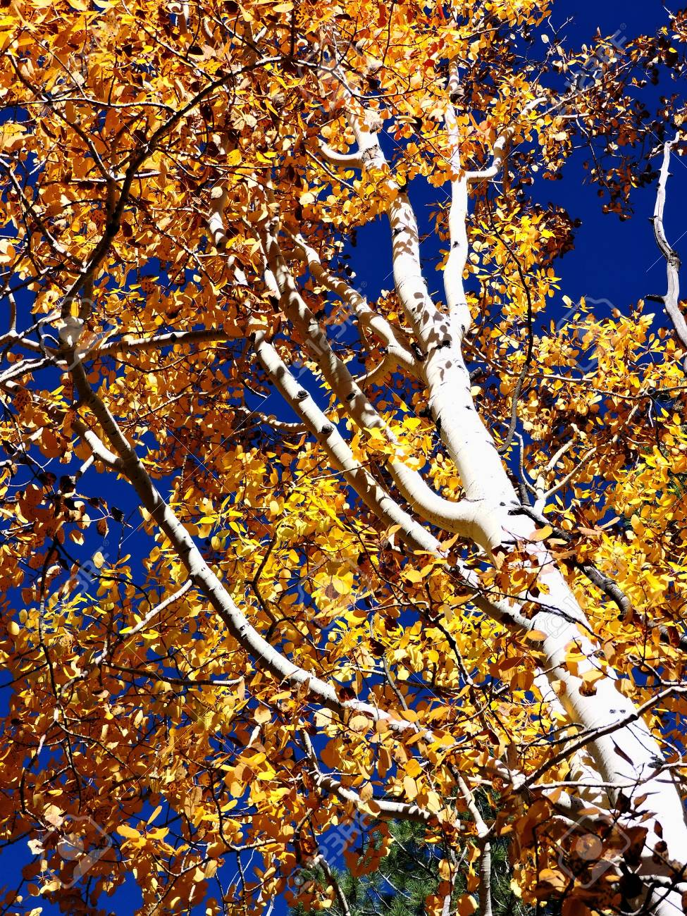 Aspen Autumn Leaves Stock Photo - 56978280
