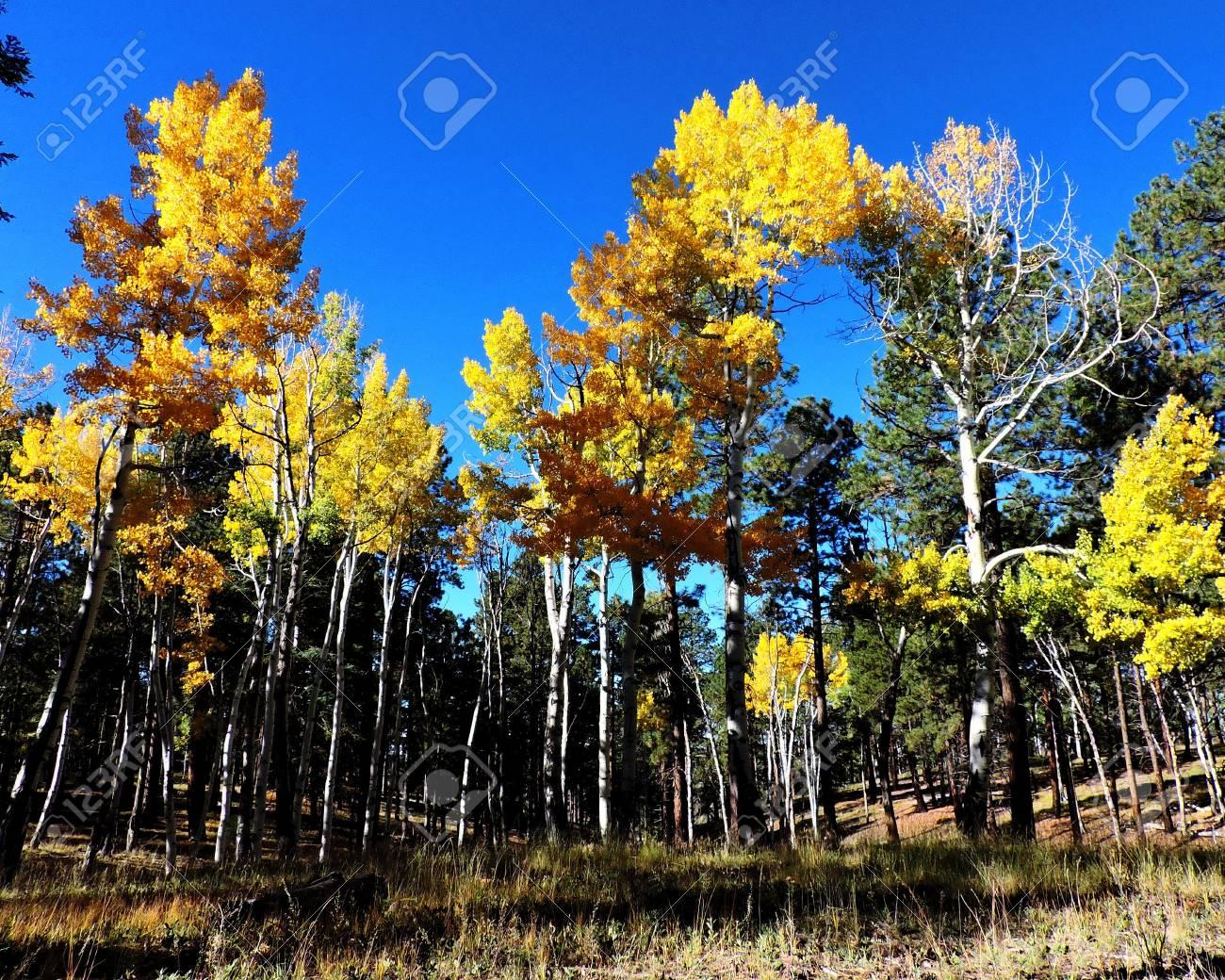 Aspen Forest Autumn Stock Photo - 56978302
