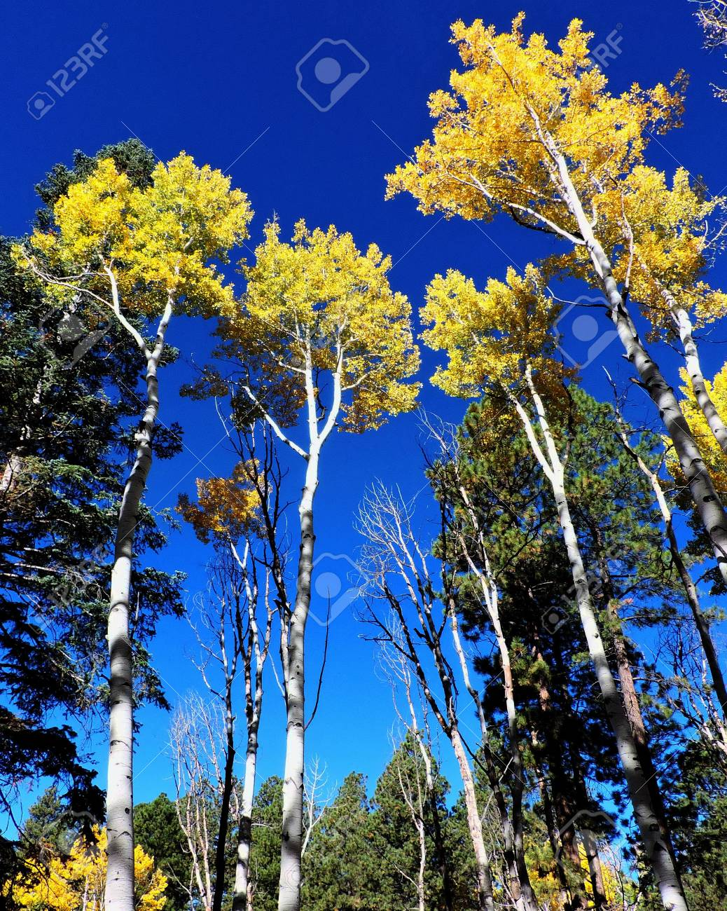 Aspen Leaves Trees Forest Autumn Stock Photo - 56978304