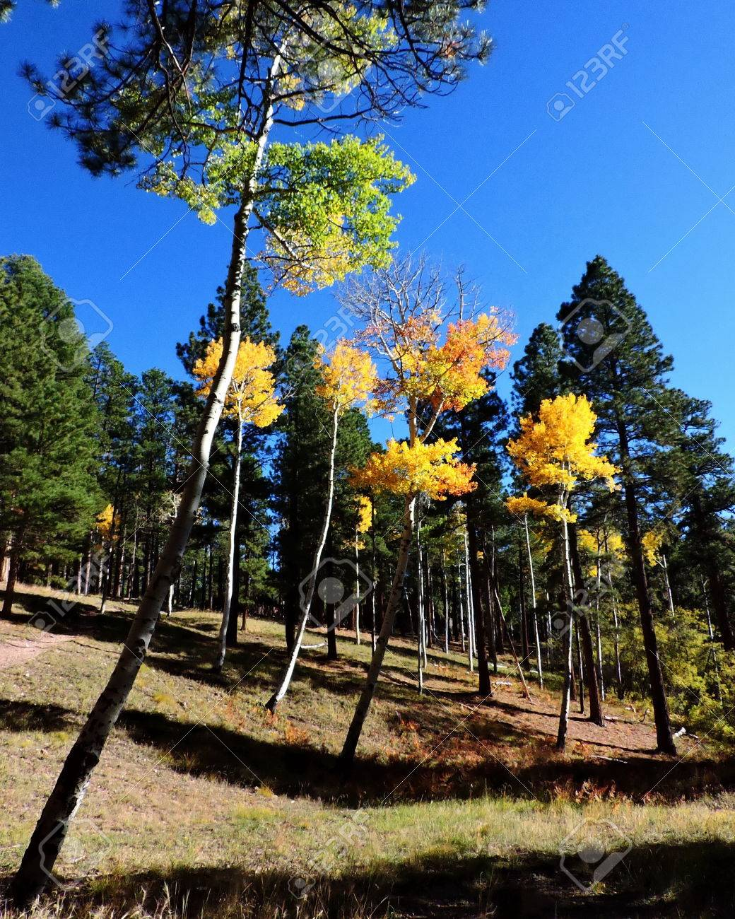 Aspen Leaves Trees Forest Autumn Stock Photo - 56978308