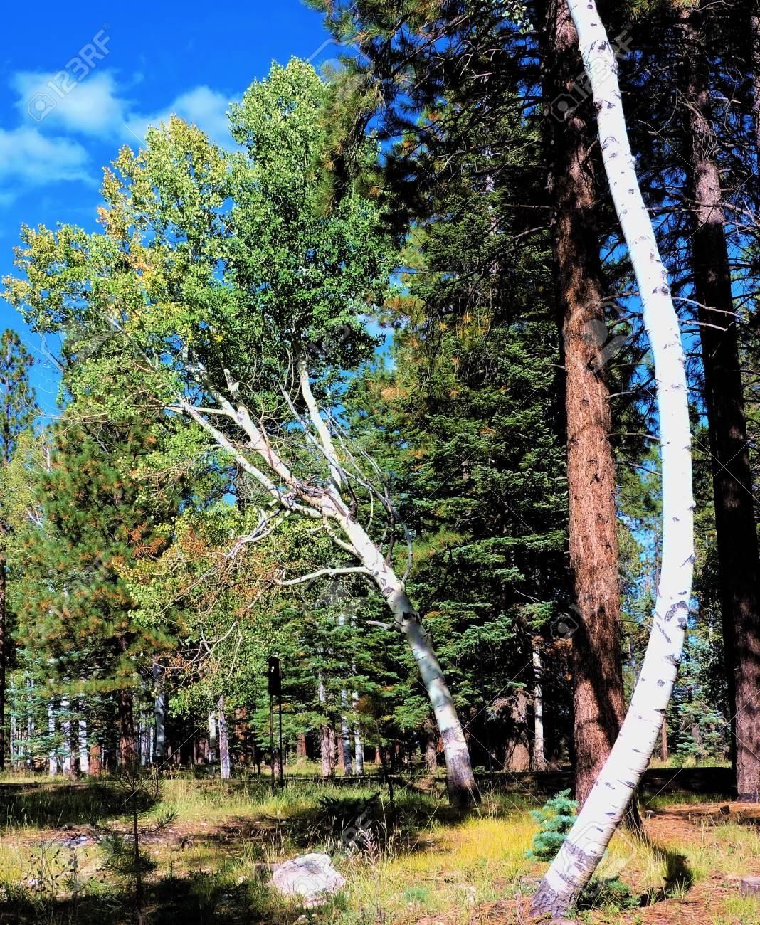 Aspen Tree Trunks Stock Photo - 56978424