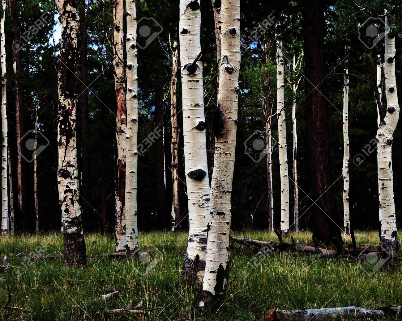 Aspen Tree Grove Stock Photo - 56978426