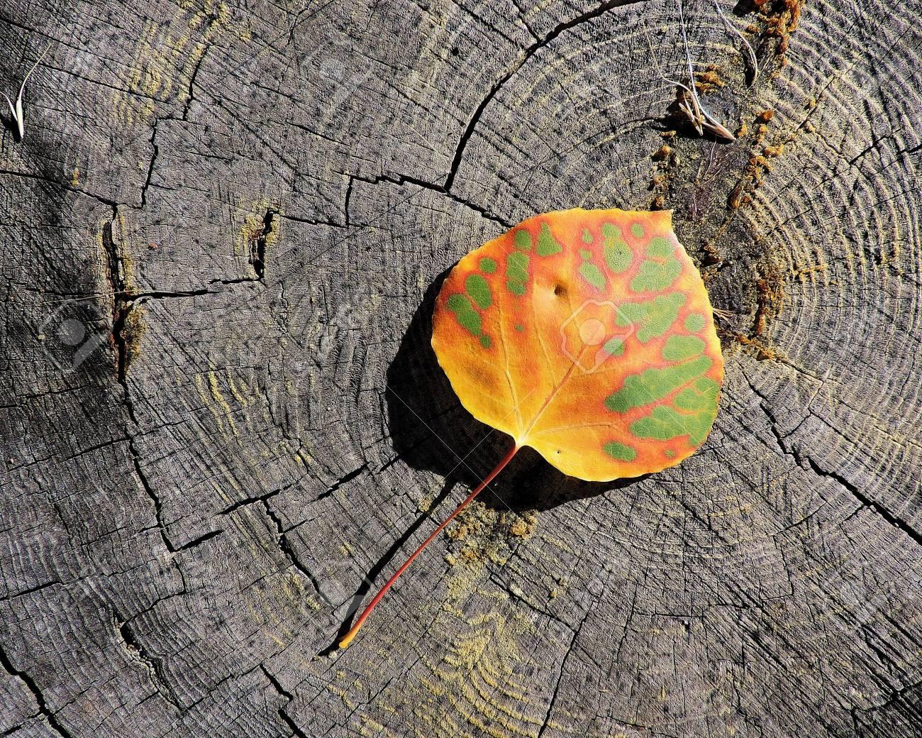 Aspen Leaf Autumn Stock Photo - 56978432