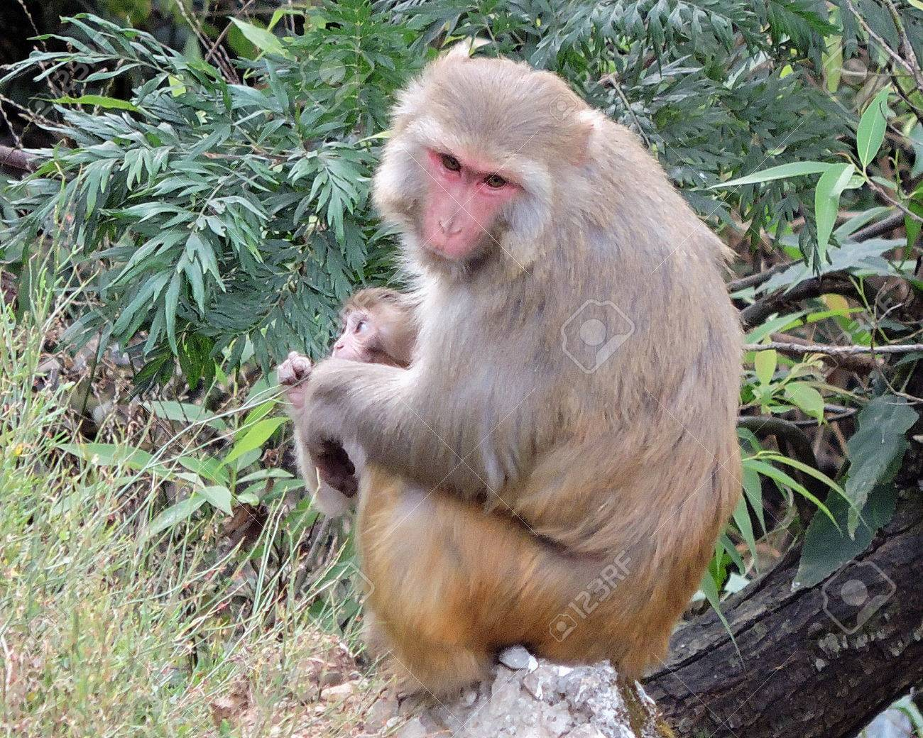 Monkey Rhesus Macaque India Stock Photo - 69420338