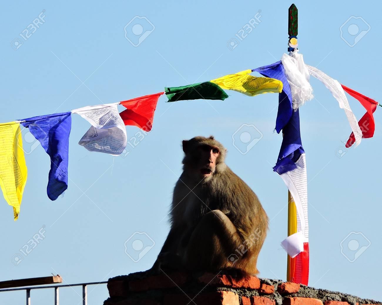 Monkey Rhesus Macaque India Stock Photo - 69419816