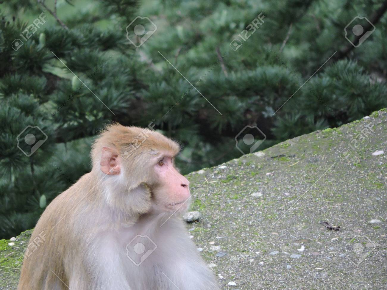 Monkey Rhesus Macaque India Stock Photo - 69420339