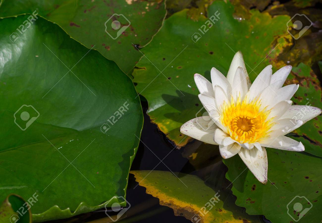 Beautiful Water Lily Or Lotus Flower Floating On A Lake Stock Photo