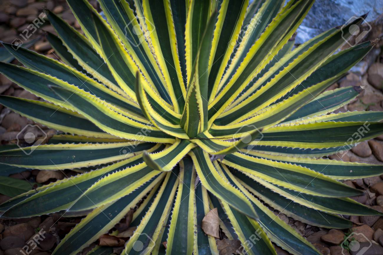 Agave Plant Of Desert Plants In Park Stock Photo Picture And