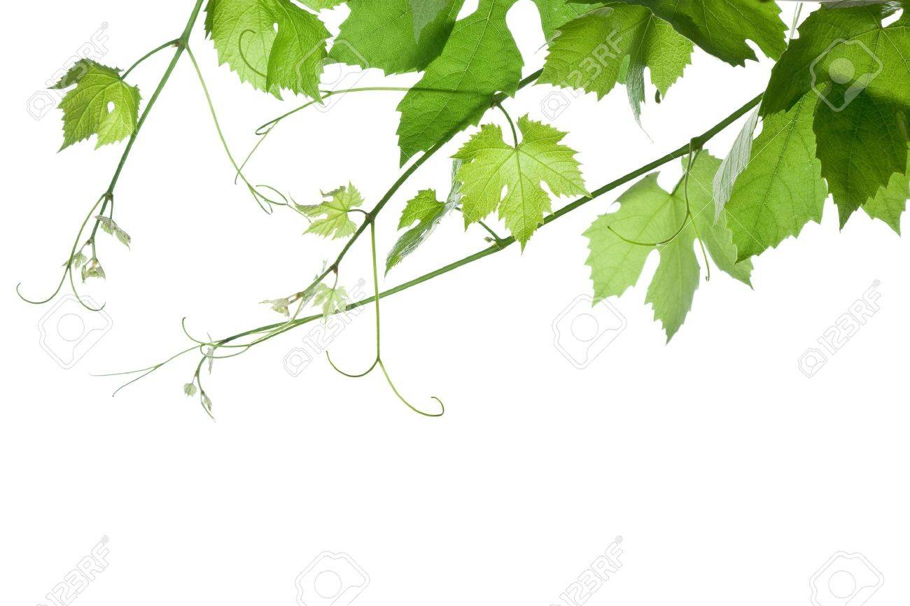 Backdrop Of Grape Or Vine Leaves Isolated On White Background Please Stock Photo Picture And Royalty Free Image Image 3188698