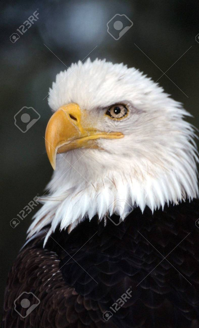 Bald eagle Stock Photo - 4895725
